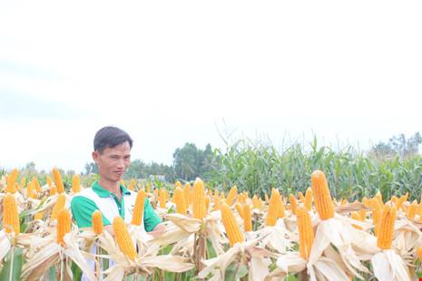 Hiện tại môt số địa phương nông dân đã trồng bắp biến đổi gen như Đồng Nai, Bà Rịa Vũng Tàu...