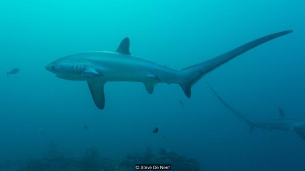 Cá mập đuôi máy đập sử dụng đuôi của mình như một vũ khí săn mỗi hữu hiệu.