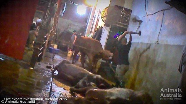 Kiểu dùng búa đập đầu trâu bò cho tới chết để giết thịt không đảm bảo tính nhân đạo