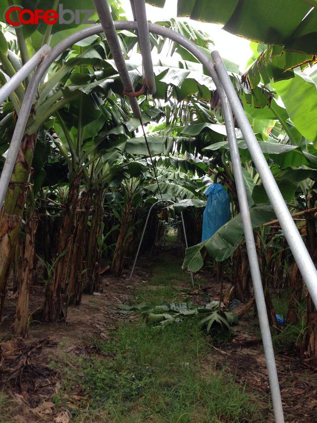 Đây là hệ thống ròng rọc chuyển chuối từ nơi thu hoạch tới nhà kho nhằm tiết kiệm nhân lực, thời gian vận chuyển chuối về kho.