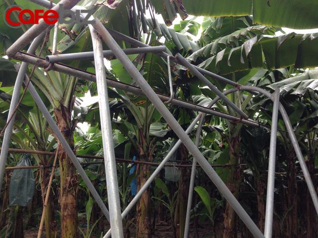 Tôi học lỏm từ chuyến thăm Philippines đó, ông Huy cười dí dỏm. Ông xây dựng hệ thống vận chuyển bằng ròng rọc trên cao quanh vườn. Các buồng chuối theo hệ thống này tự động vận chuyển về khu xử lý. Trang trại còn có hệ thống đường ống tưới nước quanh vườn.