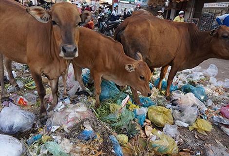 Nhiều hộ dân phải đưa bò vào chợ để mót rác ăn chống đói.