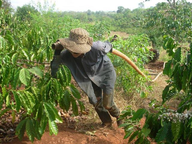 Nông dân còng lưng kéo đường ống nước tưới cứu cà phê.