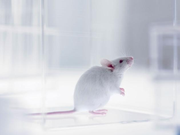 Sự lão hoá xuất hiện mạnh ở những chú chuột tiếp xúc với ánh sáng nhân tạo trong khoảng thời gian dài.