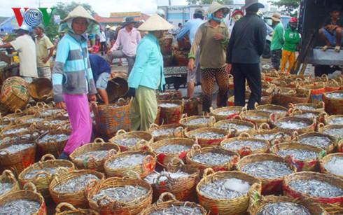 Thu mua cá cơm về làm nước mắm ở bến Phú Hài, Phan Thiết