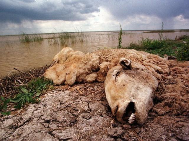Một chú cừu đang bị phân hủy ở công viên quốc gia Donana (Tây Ban Nha). Đây là kết quả của việc nhiễm axit độc hại từ mỏ khai thác gần đó. Chất thải đã hủy diệt hệ sinh thái xung quanh. (Nguồn: Techinsider)
