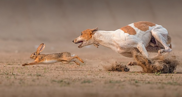 Bầy chó và thợ săn: Bài học về cách khiến nhân viên chỉ muốn làm việc cho bạn cả đời