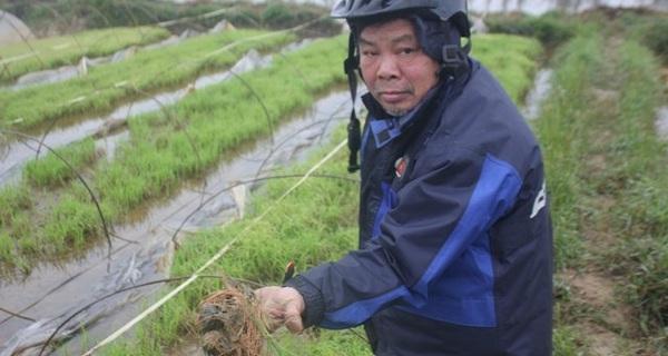 Nông dân xót xa trước hàng ngàn ha lúa mạ chết rét