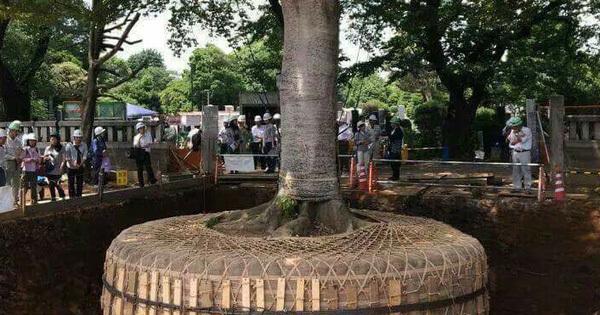 Đây không phải là tác phẩm nghệ thuật, chỉ là cách người Nhật di dời một cái cây thôi