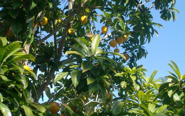 T&rgb(2, 3, 6);m ra loại quả người Việt để rụng đầy vườn nhưng được phương T&rgb(2, 2, 6);y l&rgb(2, 4, 9);ng mua với gi&rgb(2, 2, 5); gần 1,5 triệu đồng mỗi kg bột
