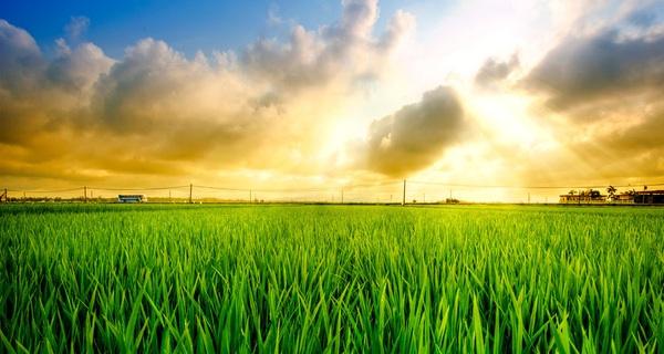 rice-field-02-by-garki-d3cqpjj-1493889047335-0-0-480-900-crop-1493889055732.jpg