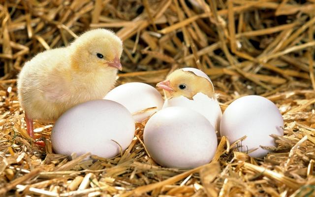 Quá trình tiến hoá kéo dài được kết thúc với một chú gà gần hoàn thiện trong trứng.
