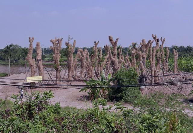 Những cây xà cừ sau khi về vườn ươm sẽ được trồng lại tươi tốt, sau đó được tái sử dụng tại những tuyến đường, đại lộ lớn của Thủ đô.