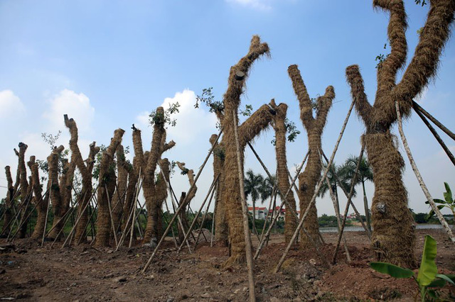 Trong số 106 cây được đưa về vườn ươm, có khoảng 30 cây xà cừ cổ thụ có tuổi đời hơn 60 năm, đường kính khoảng 1m.