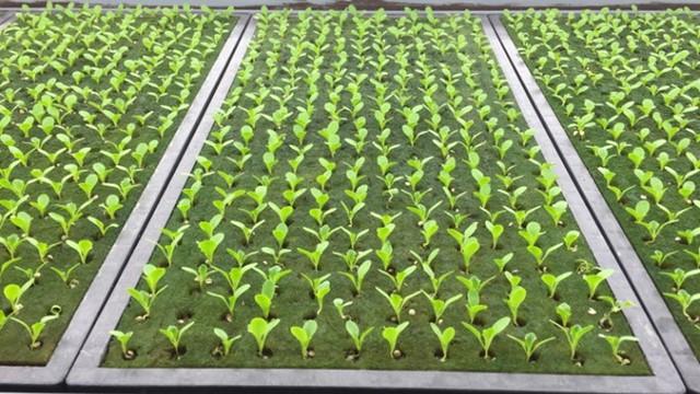 Thời gian từ khi gieo hạt tới khi thu hoạch là 40 ngày, ít hơn nhiều so với trung bình 2 tháng của phương pháp canh tác truyền thống.