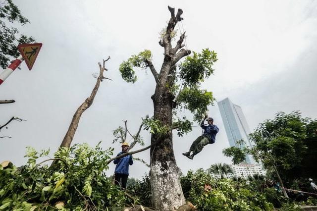 Một công nhân tuột xuống đất sau khi đã hoàn thành việc chặt hạ cành và ngọn của một cây xà cừ