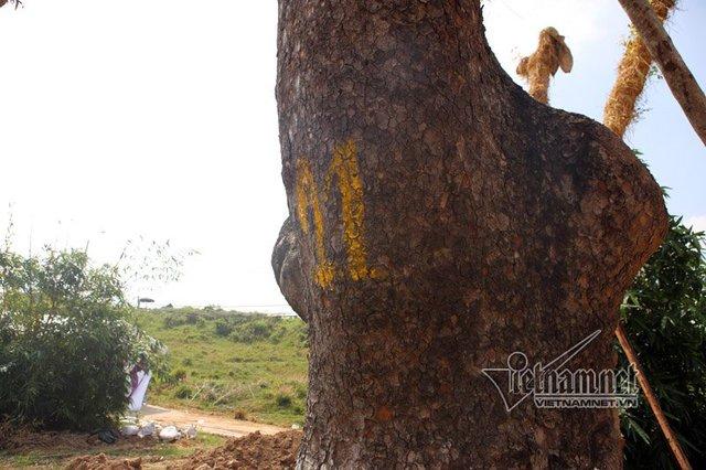 Theo đại diện của công ty Beepro, đơn vị thi công dịch chuyển cây xanh, trên tinh thần cao nhất là cứu sống, duy trì và nuôi dưỡng cây tiếp tục phát triển. Theo thống kê, tỷ lệ cứu sống cây sau di chuyển vào khoảng 60%.