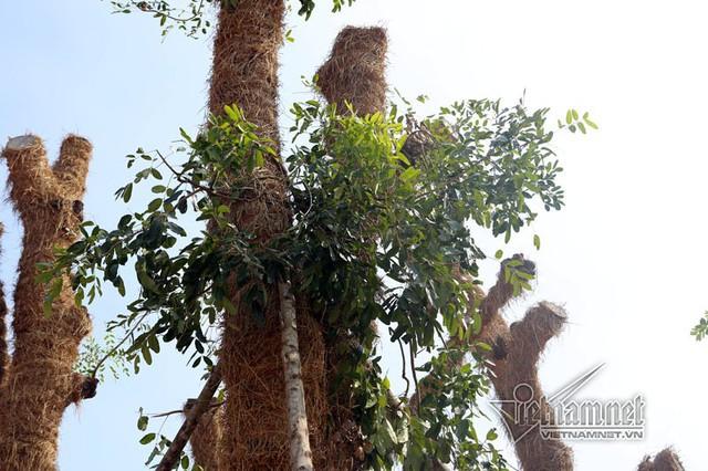 Rơm được quấn quanh thân để chống mất nước cho cây.