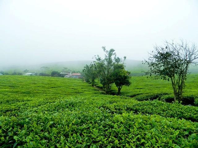 Cao nguyên Mộc Châu cũng nổi tiếng với những đồi chè xanh mướt, trải dài tít tắp.