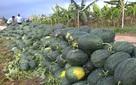 Nông nghiệp Việt Nam sẽ vẫn cần những cuộc giải cứu