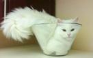 """Nghiên cứu """"Mèo là chất lỏng"""" đạt giải Ig Nobel 2017"""
