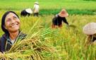 Nông dân trồng lúa nhỏ lẻ, khó đủ đường