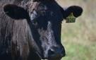 Bí quyết để sản xuất loại thịt bò Úc hảo hạng: Cho bò ăn... Socola