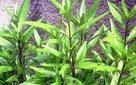 Phát hiện đột phá về tác dụng điều trị HIV của cây lá liễu tìm thấy ở Việt Nam