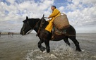 Nghề kiếm tiền lạ ở Bỉ: Cưỡi ngựa bắt tôm