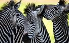 Đố bạn: Ngựa vằn là trắng sọc đen hay đen sọc trắng?