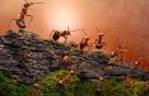 Những chú kiến lửa bé nhỏ này có những phẩm chất mà loài người cũng phải ngả mũ thán phục