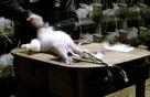 Thảm cảnh những chú thỏ bị nhổ lông sống trong ngành công nghiệp thời trang