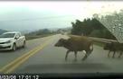 Đang lái xe gặp trâu bò, chó chạy ngang đường, tránh cách nào an toàn?