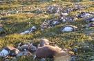 Hàng trăm con tuần lộc bị sét đánh chết ở Na Uy