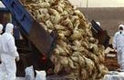 Cảnh báo: Độc lực vi rút cúm gia cầm đang tăng lên