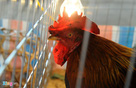 """Những đặc điểm thú vị của loài gà chứng minh rằng chúng không hề """"gà"""" như chúng ta tưởng"""