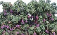Những loại quả có màu sắc khác lạ: Xoài tím, chuối đỏ, dưa hấu đen, thanh long vàng...
