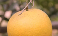 Trăm nghìn đồng không mua nổi quả cam Xã Đoài ngày Tết