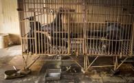 Báo Tây kể chuyện tiếp cận các trại nuôi gấu lấy mật ở Việt Nam