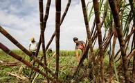 Hiệp hội Mía đường: Nếu năng suất mía đường thực sự cao, sao HAGL cứ phải tiêu thụ ở Việt Nam?