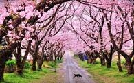 Vì sao Đà Nẵng trồng hoa anh đào ở công viên tư nhân?