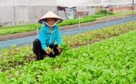 Người Sài Gòn, Hà Nội đua nhau thuê đất trồng rau sạch, mỗi tháng chi 1,5 triệu đồng thu về 20-30kg rau