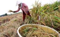 Khoảng 500.000ha lúa xuống giống trễ do hạn mặn