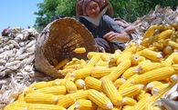 Việt Nam là quốc gia nông nghiệp, nhưng mỗi năm vẫn đang phải nhập 3 triệu tấn ngô