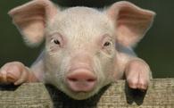Hàng triệu người sẽ chết vì nhờn thuốc kháng sinh: Thịt lợn Trung Quốc chính là nguyên nhân