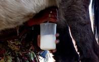 54 USD/lít, người nông dân làm giàu từ sữa lừa