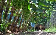 Giá giảm 10 lần, nông dân bất lực nhìn chuối rụng vàng gốc