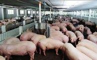 Giá lợn hơi thấp nhất thế giới: Bộ trưởng kêu gọi DN bán hàng không lấy lãi