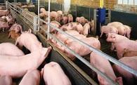 Sát Tết, lợn hơi mất giá chưa từng có, nông dân điêu đứng