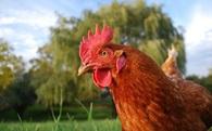 """Câu nói """"Chơi gà thế"""" là hoàn toàn sai - Các nhà khoa học chứng minh rằng gà cực kỳ thông minh và xảo quyệt"""